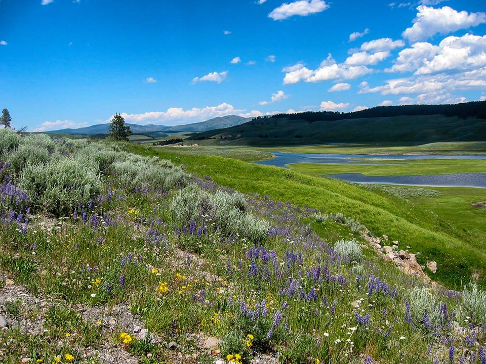 Yellowstone National Park Flower Valley