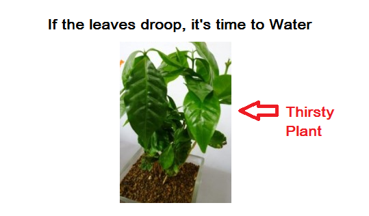 Coffee_Plant_Needs_Water